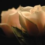 629849_roses_1